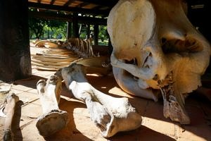 elephant bones at the baan dam museum the black house thailand