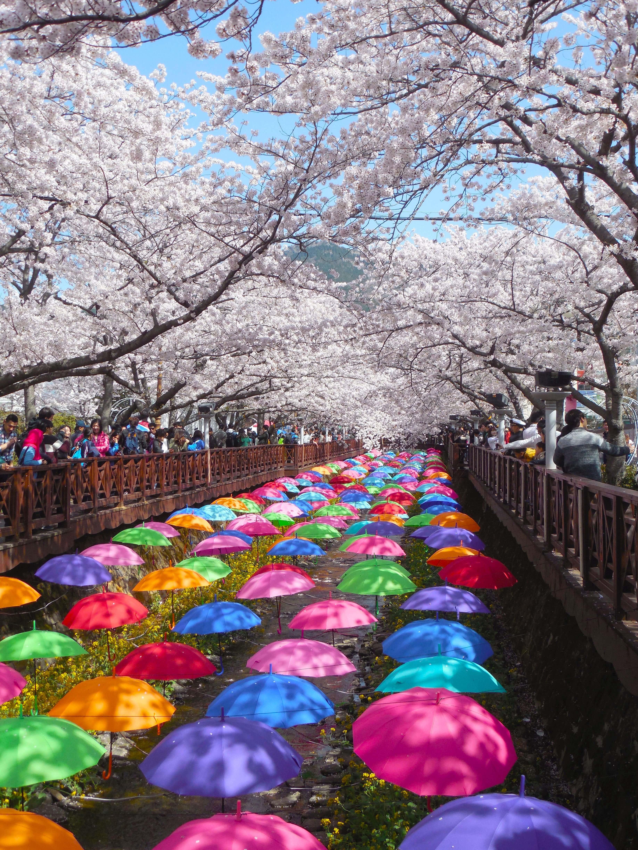Colored umbrellas under the cherry blossoms