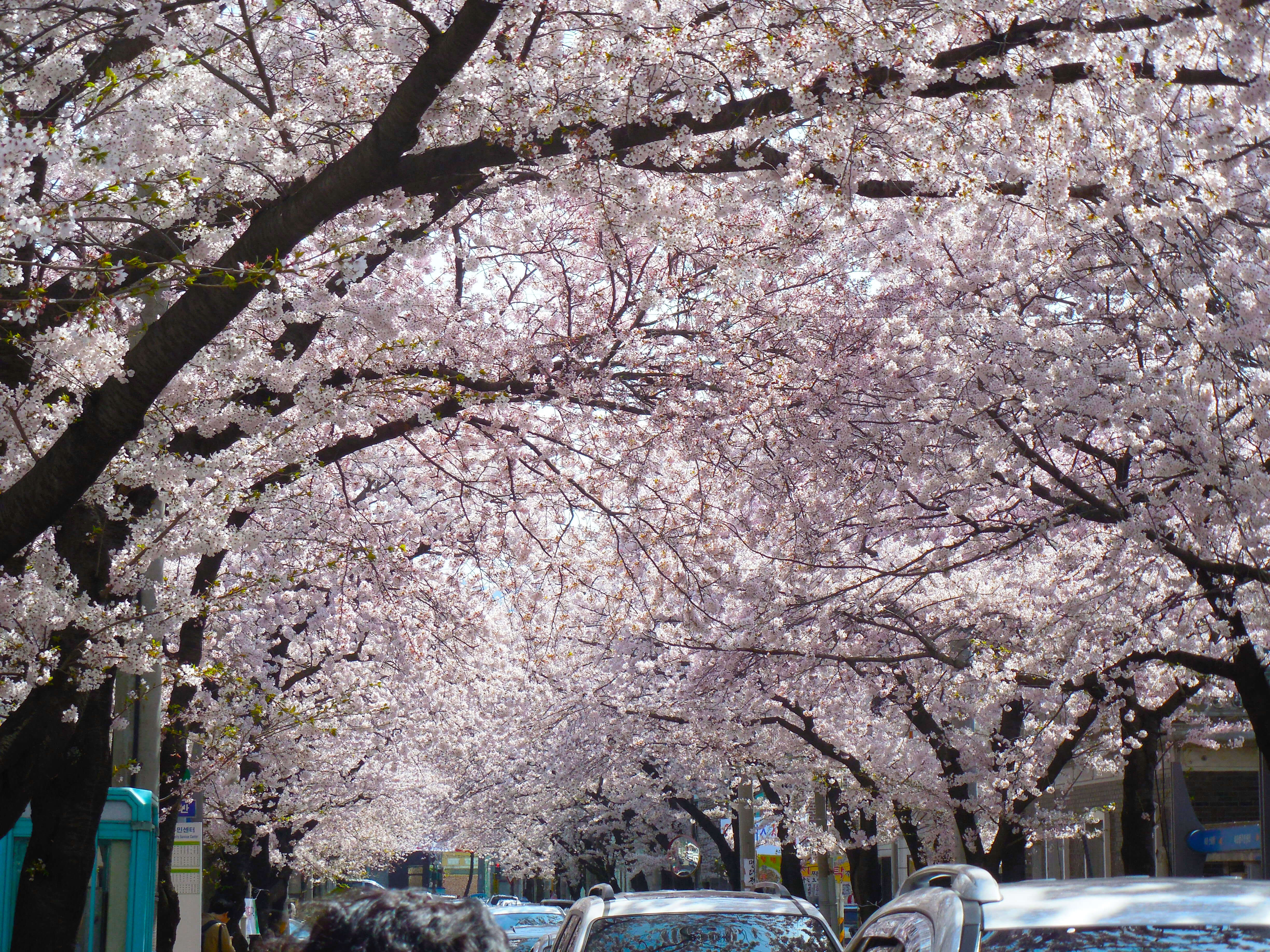 Cherry Blossoms over the road