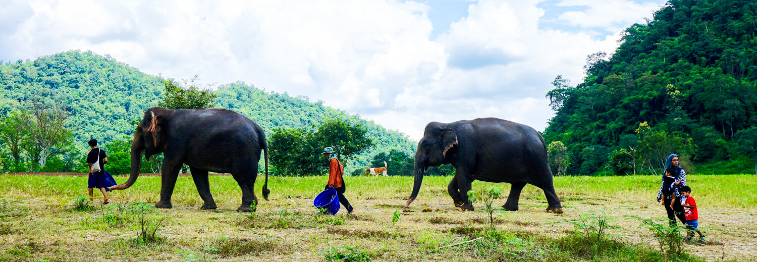 Elephants walking with people through a field