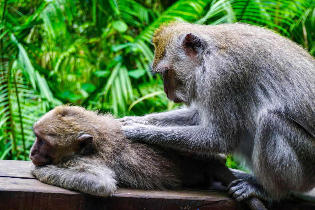 Balinese Long Tail Monkeys
